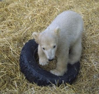 FOTKA - Lední medvídek 2
