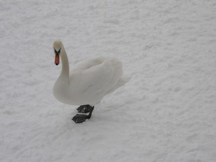 FOTKA - Labuť v zimě
