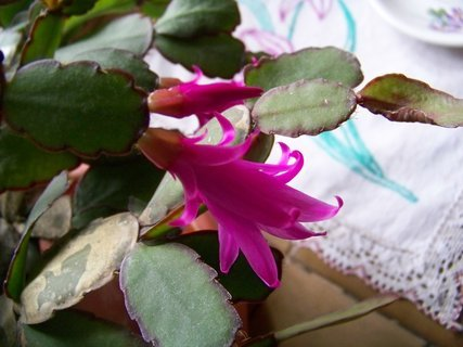FOTKA - můj kaktus už kvete také . . ....