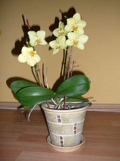 FOTKA - konečně rozkvetla orchidej