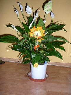 FOTKA - Spathiphyllum od kamarádky