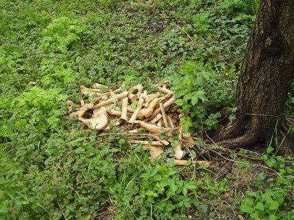 FOTKA - Takto sa vážime kosti  z vykopávok- hodíme ich pod strom