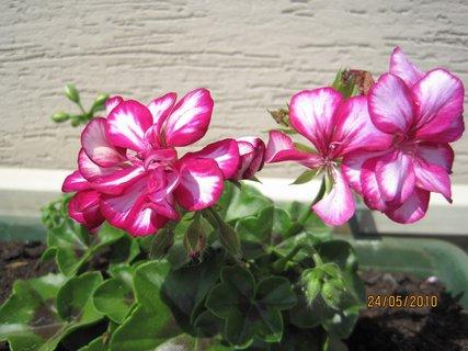 FOTKA - první květy muškátu