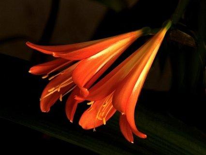 FOTKA - květ clívie