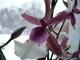 orchidee - Cambria