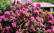 rododendron.+.