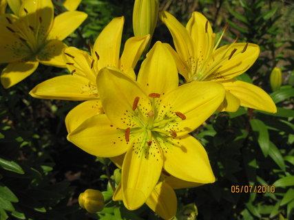 FOTKA - Žlutá lilie