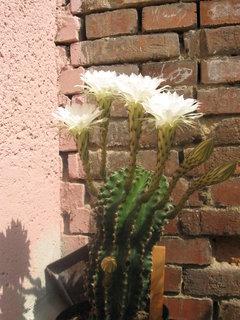 FOTKA - bílý kaktus 1