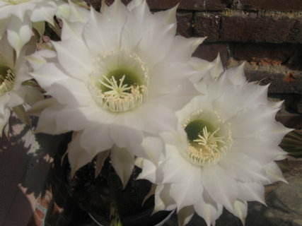 FOTKA - květ bílého kaktusu