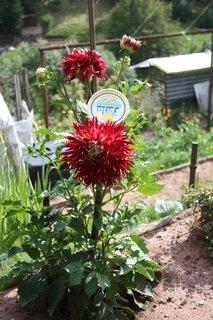 FOTKA - Ohromný květ jiřinky