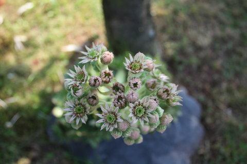 FOTKA - Květ netřesku