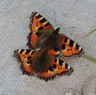 FOTKA - zamilovaní motýlci