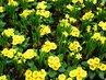 petrklíčový koberec  žlutý