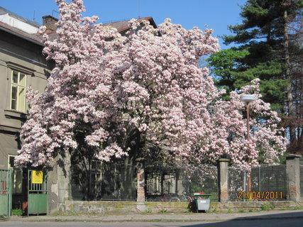 FOTKA - Rozkvetlá magnolie