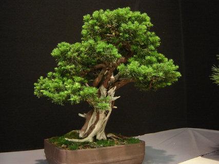 FOTKA - bonsaje