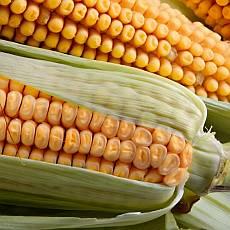 zelenina-jako-lek-kukurice