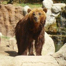 Medvědice Kamčatka s mláďaty