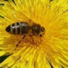 pampeliškový med recepty
