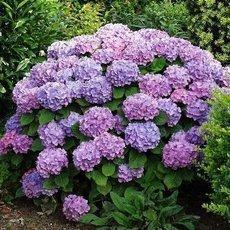 Hortenzie – pěstování, vhodná půda, řez a hnojení