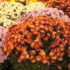 Chryzantéma - kvetoucí ohňostroj podzimu