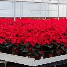 vánoční hvězda - pěstování