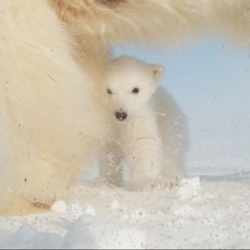 Medvíďata na sněhu