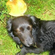 Borůvky, zimolez a borůvkový pes
