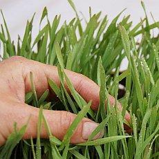 Síla jara v zeleném prášku z mladé pšenice