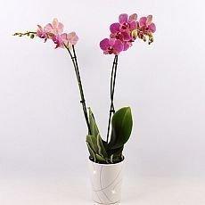 Jak pěstovat orchidej