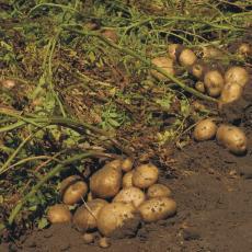 Jak sázet brambory