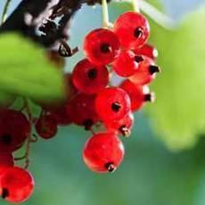 Bílý a červený rybíz – zdravé ovoce výrazné chuti