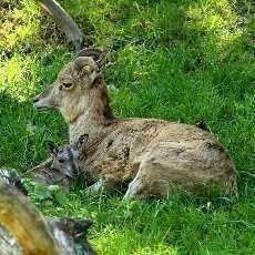 Zoopark v Chomutově se raduje z mláďat arkalů