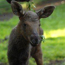 Novým přírůstkem v Podkrušnohorském zooparku je losí slečna Annabel