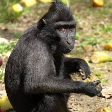 zoo-decin-makak-chocholaty