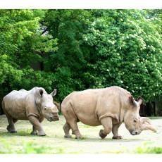 V ZOO Dvůr Králové uhynula samice vzácného bílého nosorožce