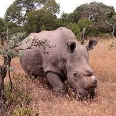 Královédvorští nosorožci se v Keni opakovaně pářili
