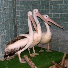 Ve Dvoře Králové nový druh - pelikáni australští