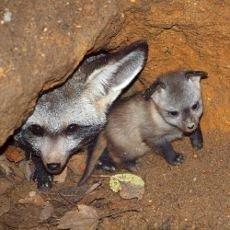 Nový chovný pár psů ušatých z královédvorské ZOO vyvedl mladé