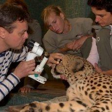 Geparda musel vyšetřit oční specialista