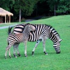Safari ve Dvoře Králové je plné mláďat