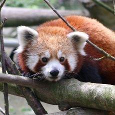 Nový obyvatel jihlavské ZOO panda Kájínek ošetřovatelům utekl