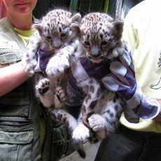 Liberec hlásí třetí mládě takina, dvojčata levharta sněžného jsou kluk a holka!