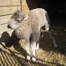 zoo-liberec-samicka-velblouda-dvouhrbeho-tasey
