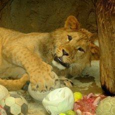 Příběh rodinky v přírodě již vyhynulých berberských lvů