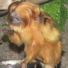 zoo-olomouc-mlade-lvicek-zlaty-