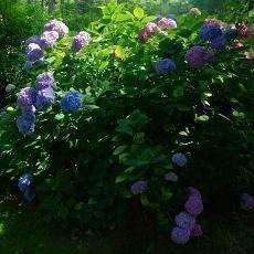 Do ZOO v Ostravě lákají právě kvetoucí hortenzie