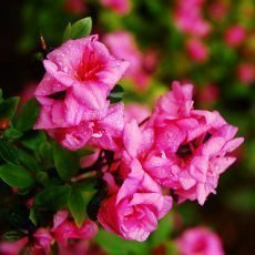 V ostravské ZOO právě rozkvétají rododendrony