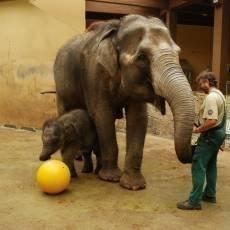 zoo-ostrava-sloni-samicka-mic