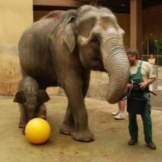 zoo-ostrava-sloni-samicka-mic-