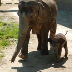 zoo-ostrava-slonice-mlade